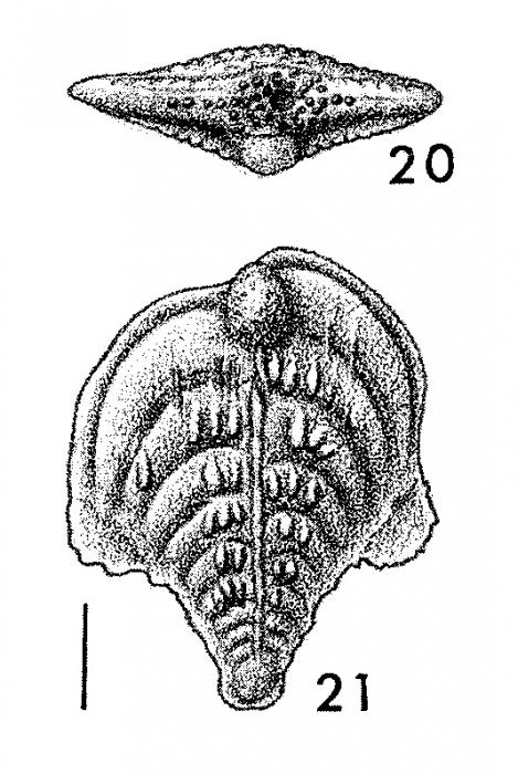 Inflatobolivinella subrugosa eocenica Hayward HOLOTYPE
