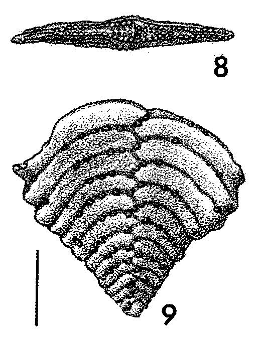 Bolivinella compressa Howe HOLOTYPE