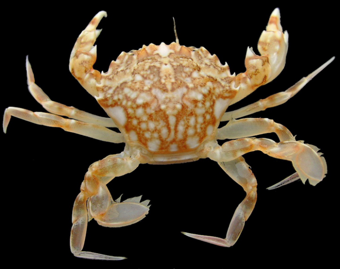 Liocarcinus marmoreus (Leach, 1814) 