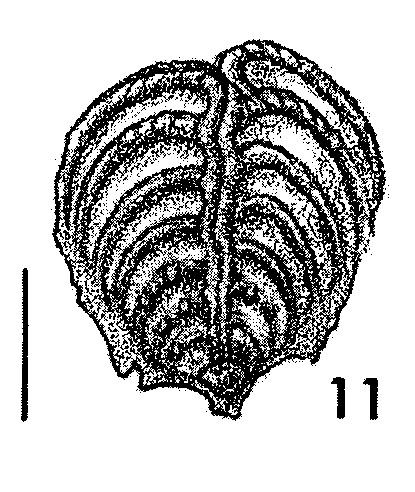 Bolivinella philippinensis McCulloch