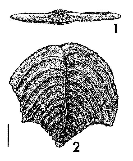 Quasibolivinella bermudezi Hayward HOLOTYPE