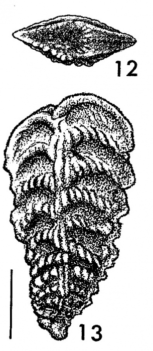 Rhombobolivinella sztrakosi italia Hayward HOLOTYPE