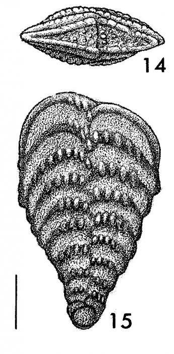 Rhombobolivinella toddae Hayward HOLOTYPE