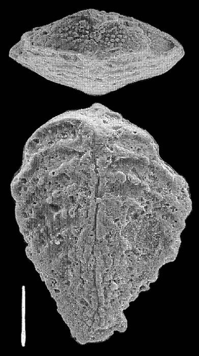 Bolivinella profolium Hayward PARATYPE