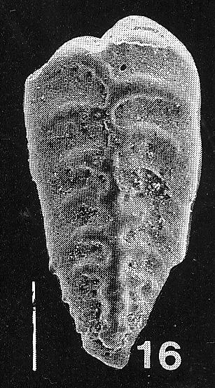 Inflatobolivinella procera Hayward PARATYPE