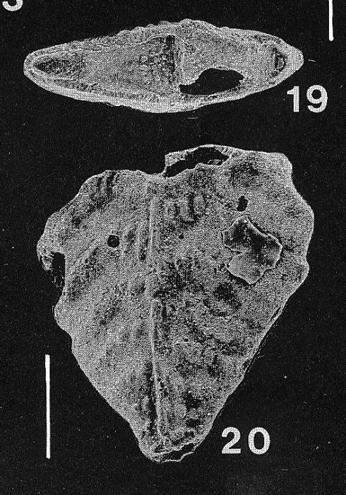 Inflatobolivinella miocenica Hayward PARATYPE