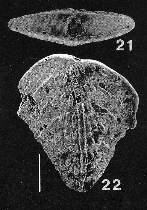 Inflatobolivinella miocenica Hayward