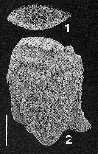 Nodobolivinella glenysae Hayward HOLOTYPE