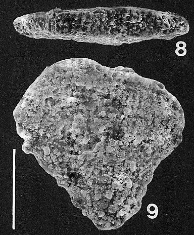 Nodobolivinella jhingrani (Kalia) TOPOTYPE