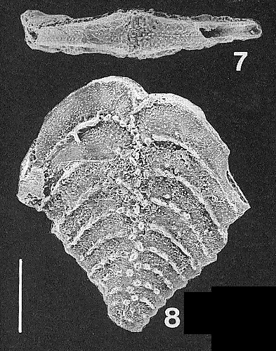 Nodobolivinella subpectinata (Cushman) TOPOTYPE