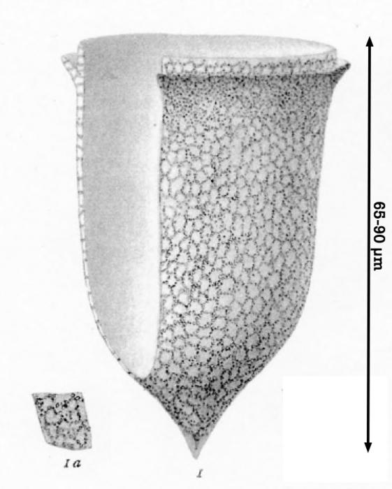 Ascampbellellia obscura