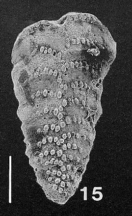 Bolivinella vicksburgensis Howe TOPOTYPE