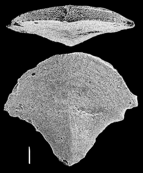 Quasibolivinella finlayi Hayward PARATYPE