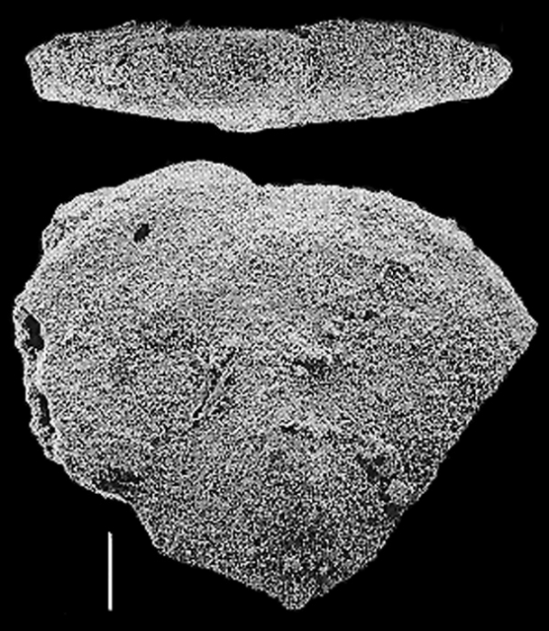 Quasibolivinella taylori Quilty TOPOTYPE