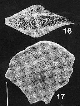 Quasibolivinella taylori Quilty