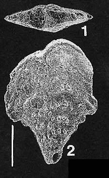 Rhombobolivinella droogeri Hayward PARATYPE