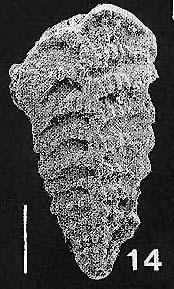 Rhombobolivinella sztrakosi italia Hayward PARATYPE