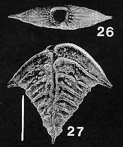 Rugobolivinella elegantula Hayward PARATYPE