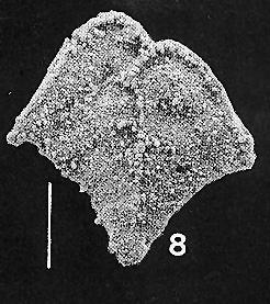 Rugobolivinella flabelliforme Hayward PARATYPE