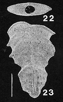 Bolivinella margaritacea (Cushman) TOPOTYPE