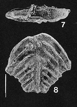 Bolivinella rugosa (Howe) TOPOTYPE