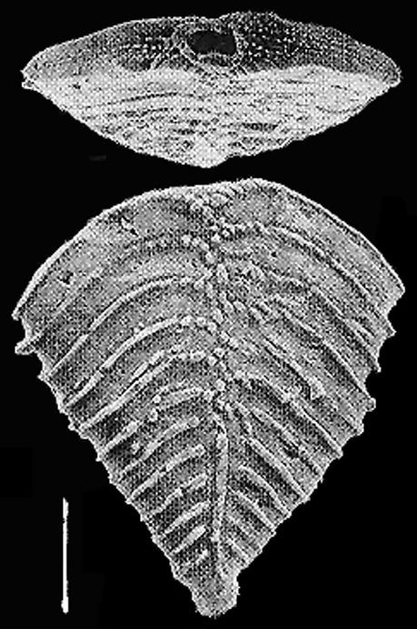 Rugobolivinella rugosa (Howe)