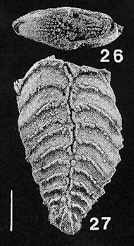 Rugobolivinella spinosa Hayward