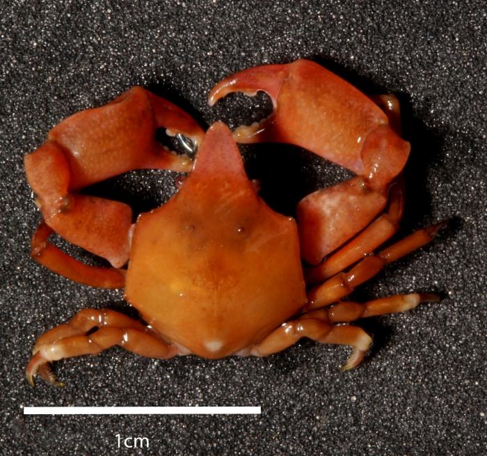 Epialtus bituberculatus