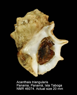 Acanthais triangularis