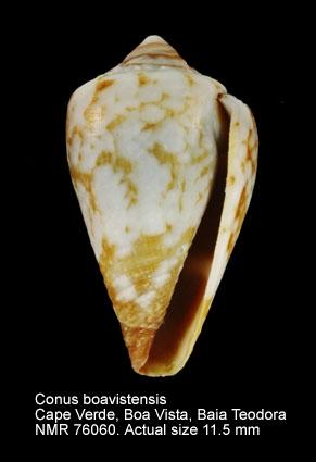 Conus boavistensis
