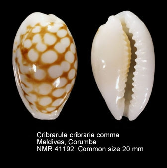Cribrarula cribraria comma