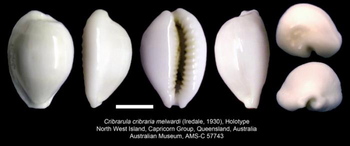Cribrarula cribraria melwardi