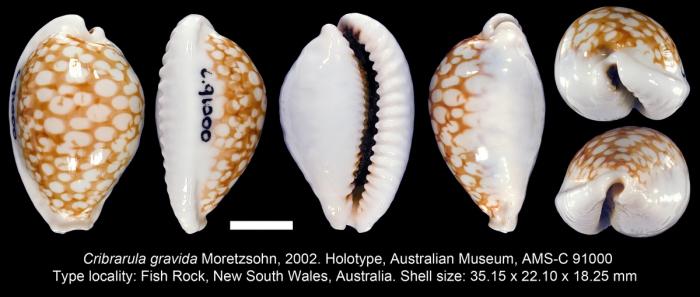 Cribrarula gravida Moretzsohn, 2002