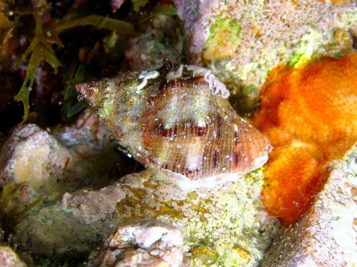 Stramonita haemastoma (juvenile)