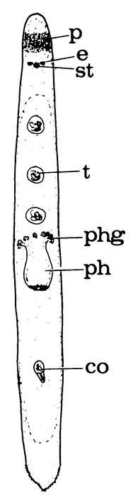 Pseudomonocelis