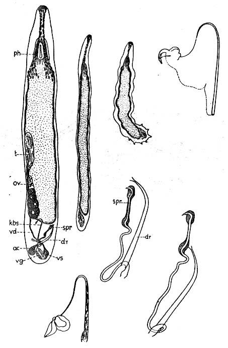Paromalostomum dubium