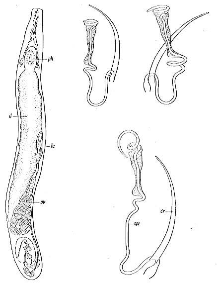 Paromalostomum fusculum