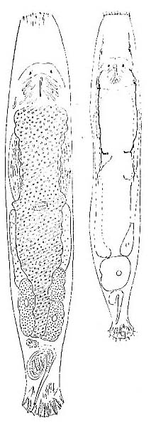 Macrostomum tenuicauda