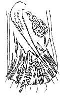 Macrostomum tenuicauda