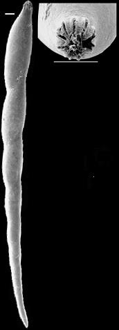 Laevidentalina badenensis New Zealand