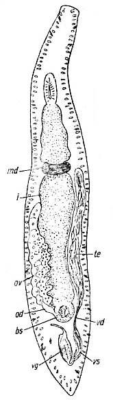 Myozona stylifera