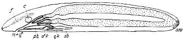 Archimonotresis limophila