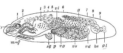 Pseudostomum gracilis