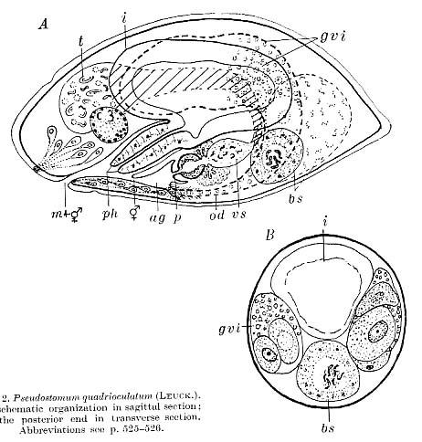 Pseudostomum quadrioculatum