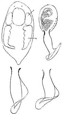 Provortex pallidus