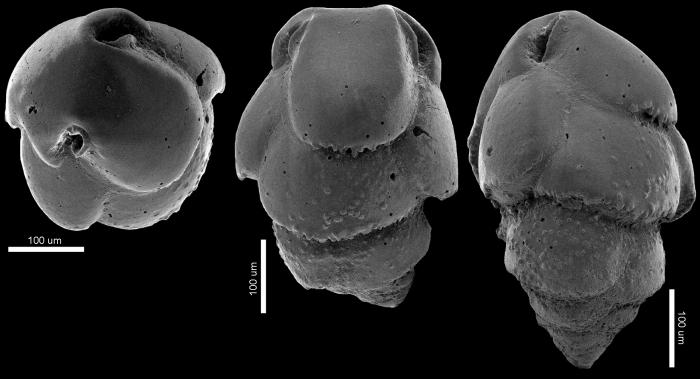 Bulimina marginata f. acanthia New Zealand