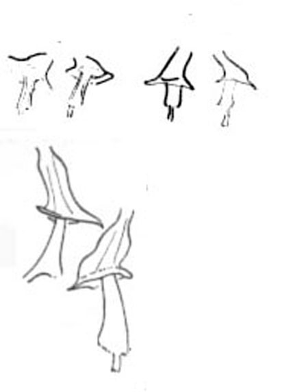 Cicerina tetradactyla