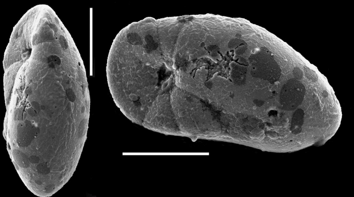 Elongobula iphigeneae New Zealand