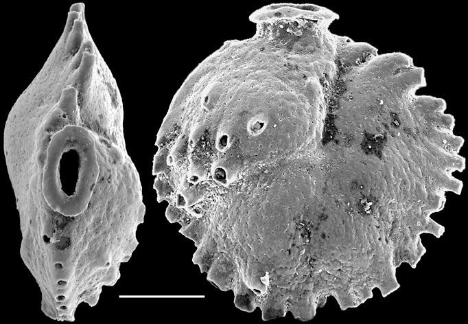 Sphonina tubulosa New Zealand