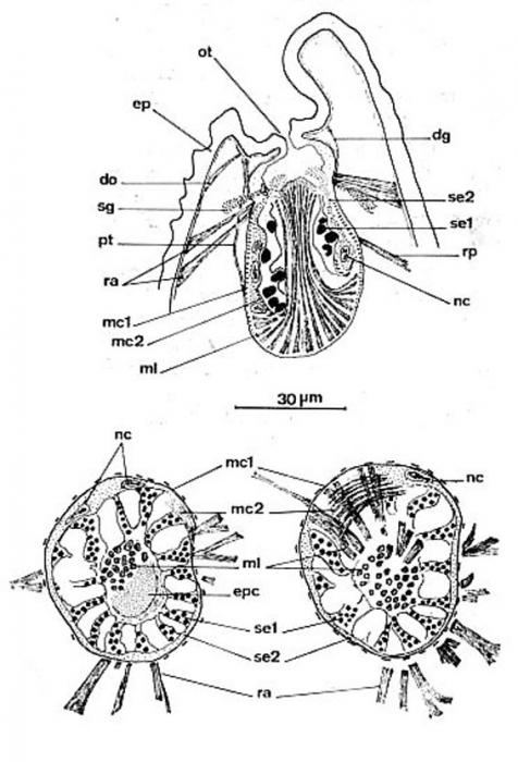 Ptyalorhynchus coecus